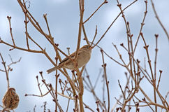 Female House Sparrow perching on a branch Stock Images