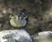 Female house sparrow on a rock. A female house sparrow and myself locked in a staring contest stock photos