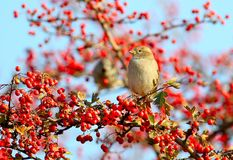 A female of house sparrow  sits on a hawthorn bush Stock Images