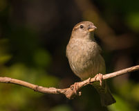 Female house sparrow. Sitting on a branch looking at the camera Stock Image