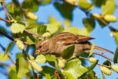 Female House Sparrow in a Tree Royalty Free Stock Photo