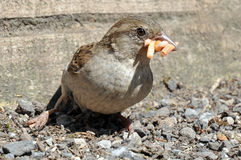 Female House Sparrow Royalty Free Stock Image
