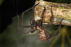 Female house Spider. Stock Photos