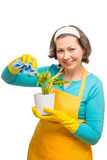 Female housewife cleans the dust from the leaves of the plant Royalty Free Stock Image