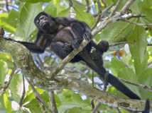 Female howler monkey. With baby at rainforest Stock Photography