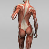 Female human anatomy and muscles. 3D rendering of human with muscles Stock Photo