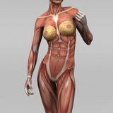Female human anatomy and muscles. 3D rendering of human with muscles Royalty Free Stock Photos