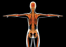 Female human body back and skeleton Royalty Free Stock Photo