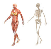 Female human muscles and skeleton vector illustration