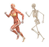 Female human muscles and skeleton stock illustration