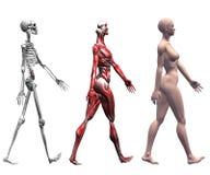 female human muscles skeleton Απεικόνιση αποθεμάτων