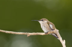 Female hummingbird Royalty Free Stock Image