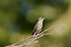 Female hummingbird Royalty Free Stock Photos