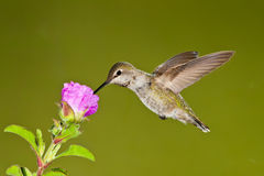 Female Hummingbird. Female Anna's Hummingbird Feeding at Purple Flower Stock Photo