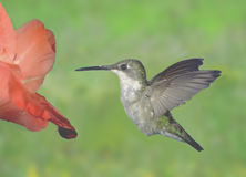 Female hummingbird. Taken at massey ontario Stock Image