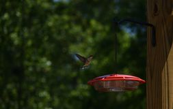 Female hummingbird approaches feeder. stock image