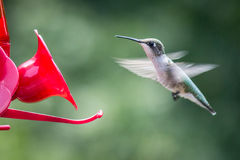 Female hummingbird approaching red feeder. A female hummingbird hovers in front of a bright red feeder with her wings a blur in the morning sun Stock Images