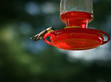 Female Hummingbird Feeding Royalty Free Stock Photo