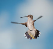Female Hummingbird in flight Royalty Free Stock Image