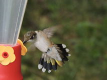 Female hummingbird getting food. Hummingbird shows off beautiful tail feathers Stock Photography
