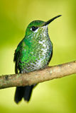Female of hummingbird Green-crowned Brilliant, Heliodoxa jacula, RBBN Monteverde Costa Rica Stock Photos