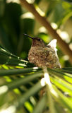 Female Hummingbird Perched Royalty Free Stock Image