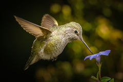 Female hummingbird and a small blue flower Royalty Free Stock Photography