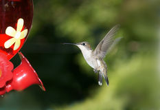 Female Hummingbird with wings spread. Female Ruby throated hummingbird with wings spread on her way to the feeder for some nectar Royalty Free Stock Photos
