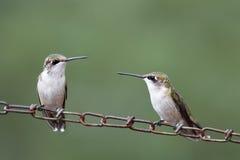 Female Hummingbirds Stock Photography