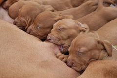 Female Hungarian Pointer, lactation Stock Images