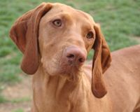 Female Hungarian Vizsla portrait Stock Photography