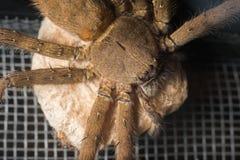 Female huntsman spider Royalty Free Stock Images