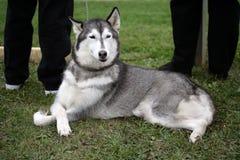 Female Husky Stock Photo