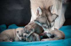 Female husky with newborn puppies. Female of siberian husky taking care of her one week baby puppies Stock Photos