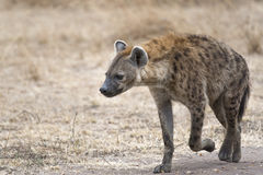 Female hyena walking along farm road Stock Photography