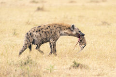 Female hyena walking with chunk of baby antelope in her mouth Stock Image