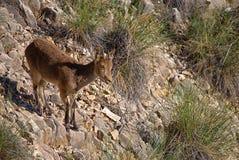 Female Iberian Ibex,(Capra pyrenaica) on steep limestone slope. Spain. A female Iberian Ibex (Capra pyrenaica), also known as a Spanish wild royalty free stock photo