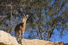 Female Ibex Royalty Free Stock Photo