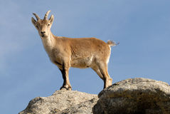 Female ibex Royalty Free Stock Images