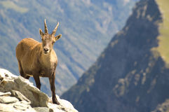 Female Ibex. Looking in camera, she is curious about me Stock Image