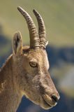 Female ibex. Side portrait of female ibex or goat; nature background Stock Photos