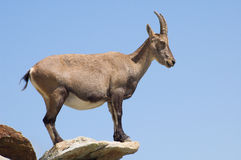Female Ibex alert. Female Ibex looking down to the valley, she is always alert!She is standing on a lat rock, like a silouette Royalty Free Stock Photo