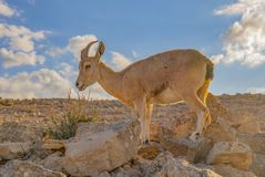 A Female Ibex Grazing in Israel stock photos