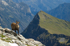 Female ibex in mountains. Female ibex or goat on edge or rocky slope with mountains and valleys in background Stock Image