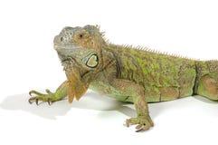 Female iguana with big beard. Isolated on a white background stock photo