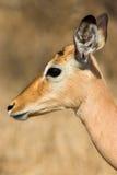 Female Impala. Close up head shot of a female Impala Royalty Free Stock Photography