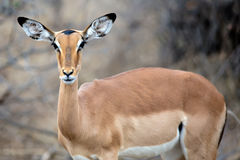 Female Impala. In the Kruger Park, South Africa royalty free stock photos