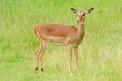 Female Impala stock photography