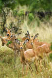 Female Impala. Stock Photography