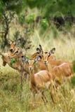Female Impala. Herd of female Impala in the Kalahari bush veld stock photography